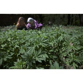 Fake Marijuana Field